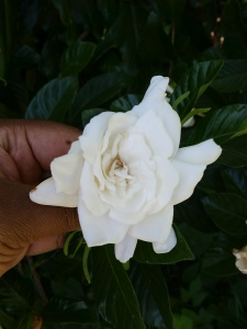 A gardenia from my backyard